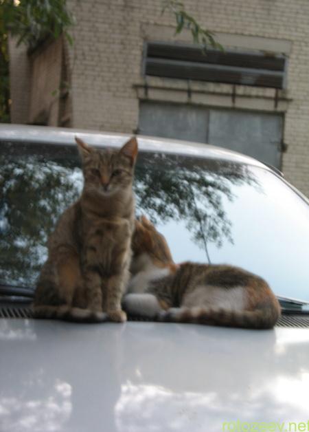 Коты на капоте машины