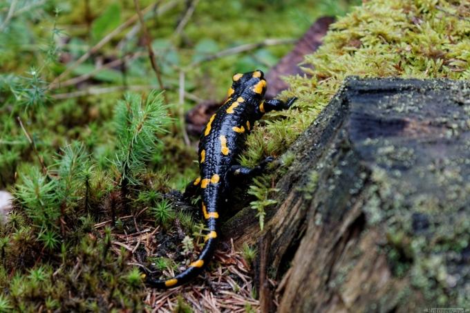 Огненная саламандра в Карпатах
