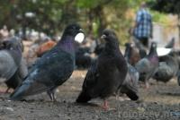 Фото голубей в Харькове